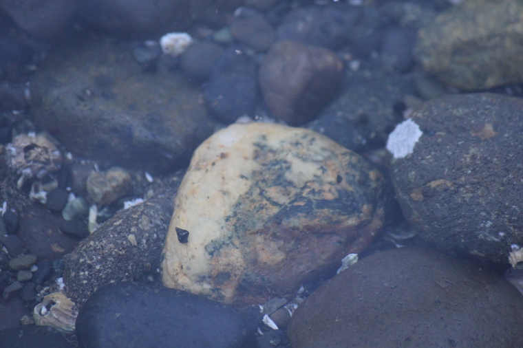 There's a chunk of Dallasite in the water! This one's yellowish and dirty, but a good tumble should start bringing out the designs.