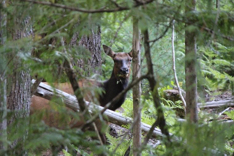 Elk on Vancouver Island.