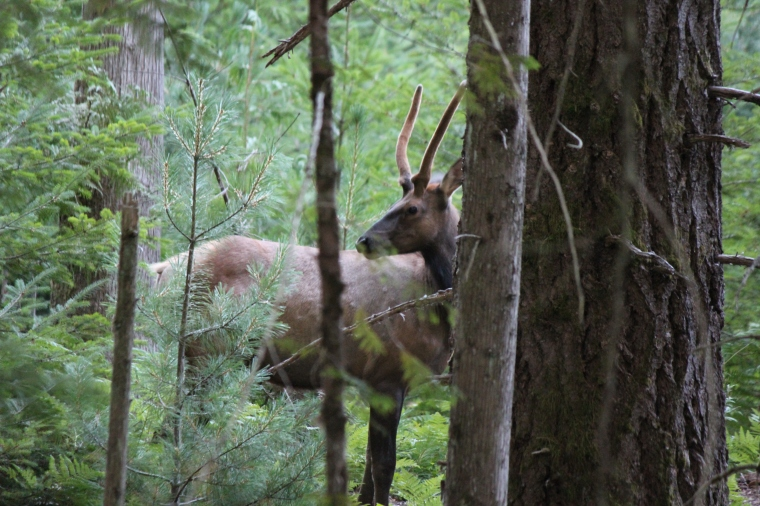 Elk buck.