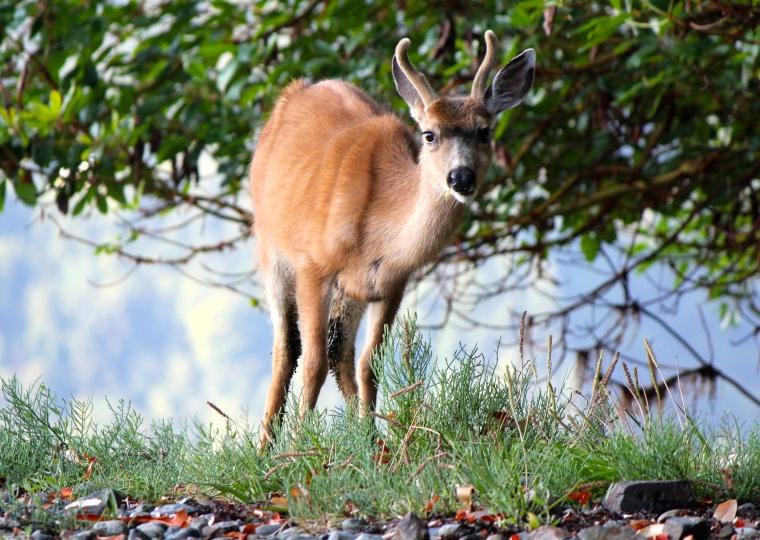 A nice young deer.
